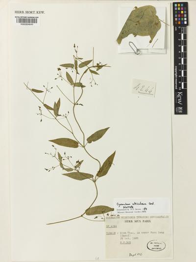 Cynanchum utriculosum Costantin