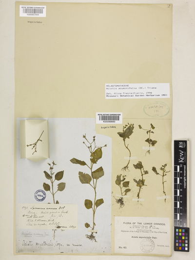 Aciotis acuminifolia (DC.) Triana