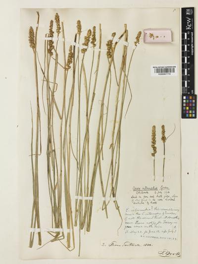 Carex sartwellii Dewey