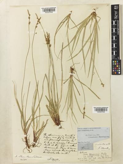 Carex communis L.H.Bailey
