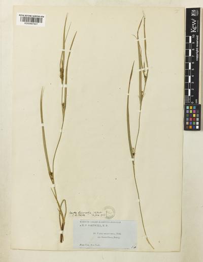 Carex oligocarpa Schkuhr