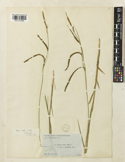 Carex torta Boott ex Tuck.