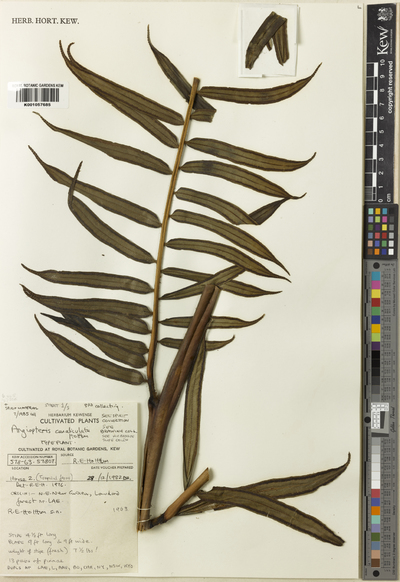 Angiopteris canaliculata Holttum