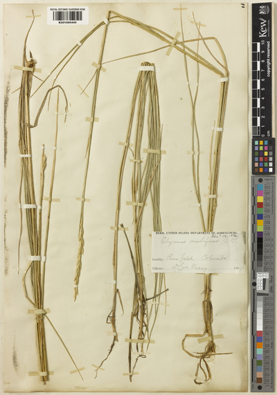 Leymus ambiguus (Vasey & Scribn.) D.R.Dewey
