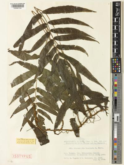 Pronephrium insularis (K.Iwats.) Holttum