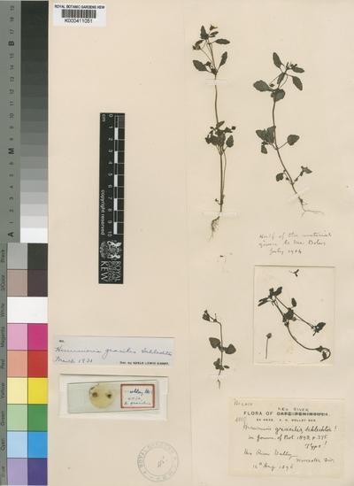 Hemimeris gracilis Schltr.
