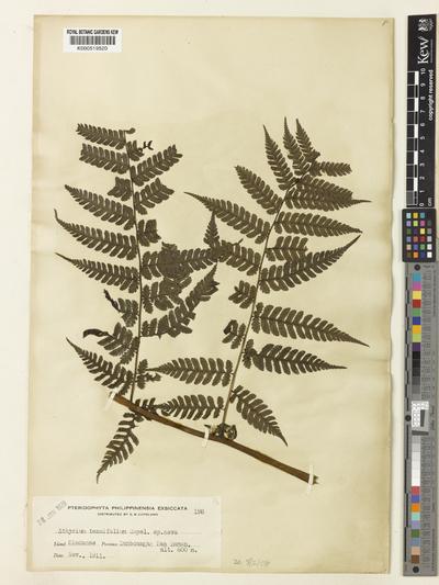 Diplazium tenuifolium (Copel.) Lellinger
