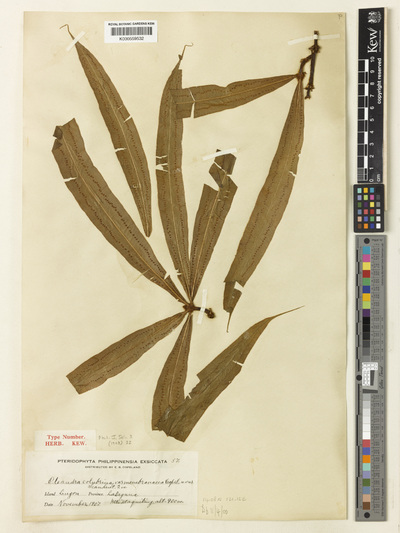 Oleandra colubrina (Blanco) Copel.