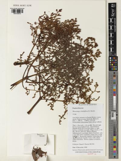 Macaranga velutiniflora S.J.Davies