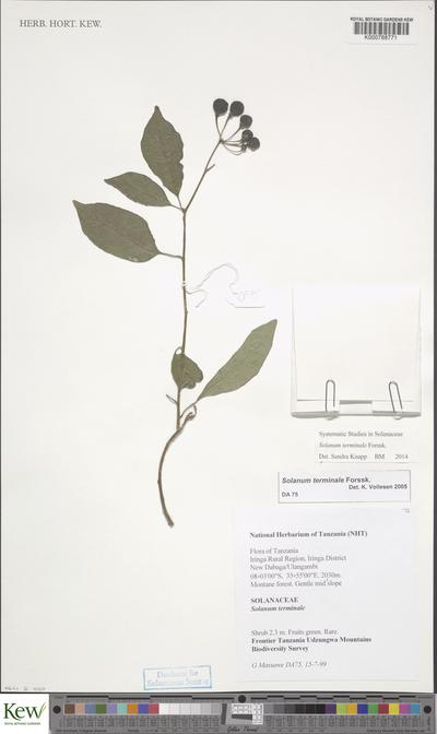 Solanum terminale Forssk.