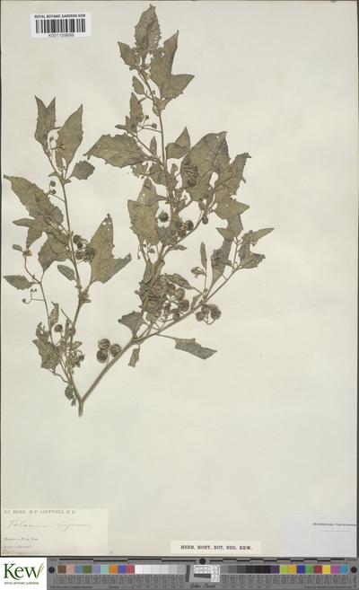 Solanum emulans Raf.