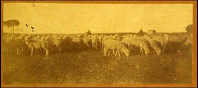 De Carolis, Adolfo  [Pastore con pecore]