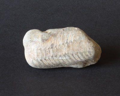 Galvakojis moliuskas (nautiloidea)