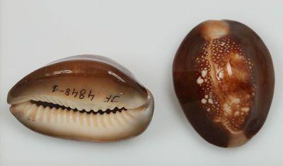 Cypraea caputserpentis (Linne, 1758)