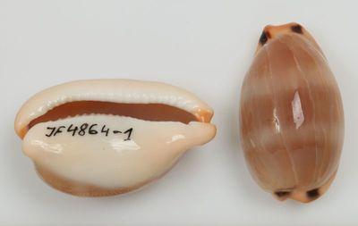 Cypraea lurida (Linne, 1758)