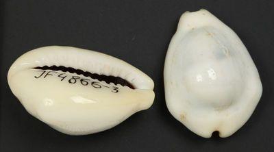 Cypraea moneta (Linne, 1758)