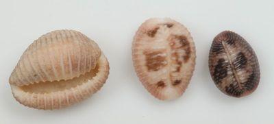 Trivia pedicula (Linne, 1758)