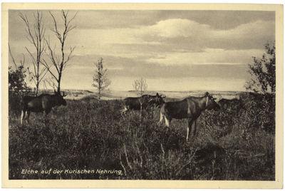 Elche auf der Kurischen Nehrung (Briedžiai Kuršių nerijoje)