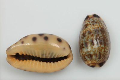 Cypraea felina (Gmelin, 1791)