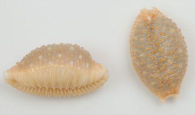 Nucleolaria nucleus (Linnaeus, 1758)