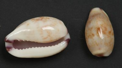 Cypraea fimbriata, (Gmelin, 1791)