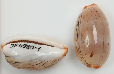 Cypraea isabella (Linne, 1758)