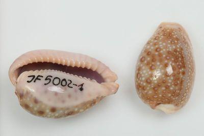 Cypraea marginalis (Dillwyn, 1817)