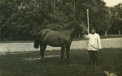 ŽŪA dvaro veislinis žirgas (trakėnų veislės eržilas, skirtas kergimui)