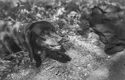 [Primer plano de perro en actitud amenazante en los jardines de la Embajada Alemana en Madrid tras el estallido de la Guerra Civil]