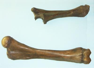 Steppenmammut (Arm)