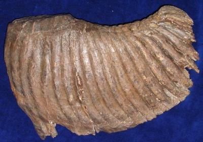 Wollhaarmammut (Backenzahn)