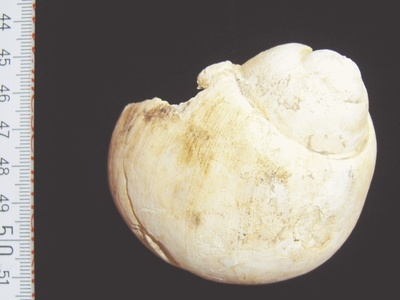 Schnecke Ampullina