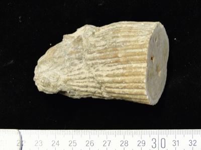 Korallenartige Muschel Vaccinites