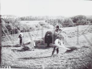 Fotonegatīvs. Siena vākšana Talsu apriņķa Kandavas pagasta Mācītājmuižā.