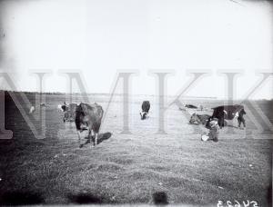 Fotonegatīvs. Ganāmpulks Daugavpils apriņķa Līvānu pagasta Jaundzemu sādžas ganībās.