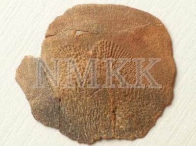 Glyptolepis baltica Gross, zvīņa ar sānu līnijas kanālu;