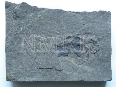 Millerosteus minor Miller;