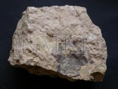 Bothriolepis sp., AMD (fragments);
