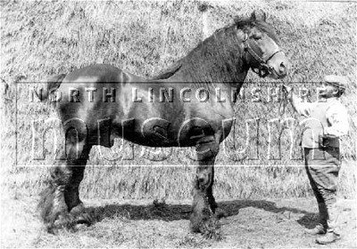 Fear None', Shire stallion from the Scawby Stud, Scawby