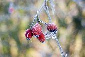 Frozen rosehips in winter garden  credit: Marie-Louise Avery / thePictureKitchen / TopFoto