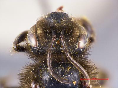 Andrena schoenitzeri MISSING