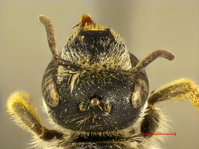 Halictus luganicus MISSING