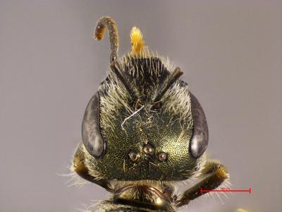 Halictus seladonia argilos