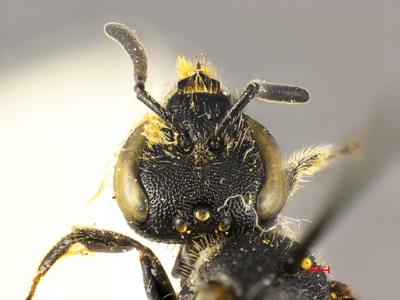 Lasioglossum illyricum MISSING