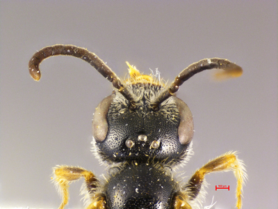 Lasioglossum pleurospeculum MISSING