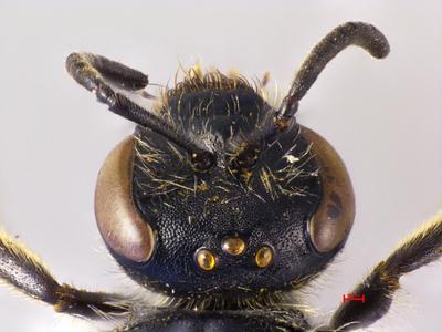 Lasioglossum xystodorsum Ebmer