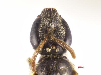 Lasioglossum iriomotense MISSING
