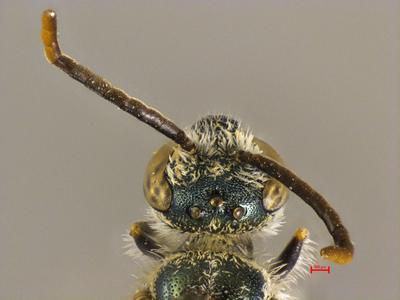 Lasioglossum semicroceipes MISSING