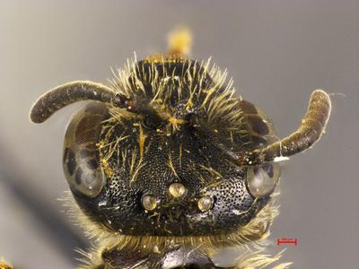 Lasioglossum laevoides MISSING