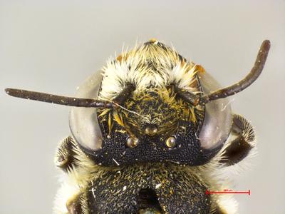 Megachile atvatula MISSING